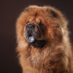 Chow Chow Close Up