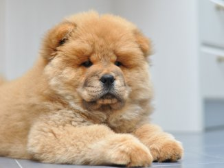 Chow Chow What to Know Before Buying Cover