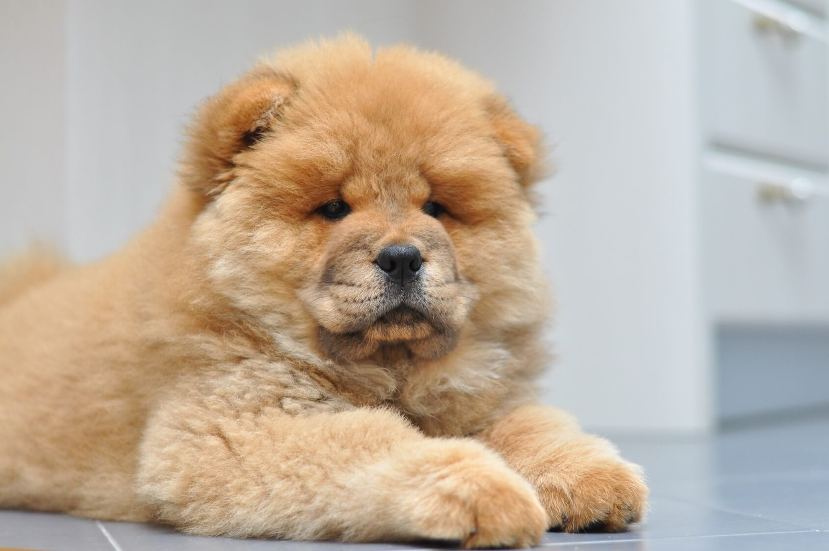 Chow Chow: What To Know Before Buying