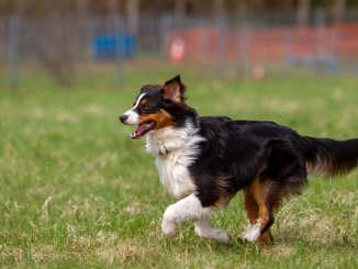 Complete English Shepherd Guide 6 Must Read Facts Cover