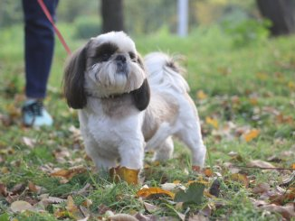 Pekingese Shih Tzu Mix Care Guide A Pampered Palace Pup Cover