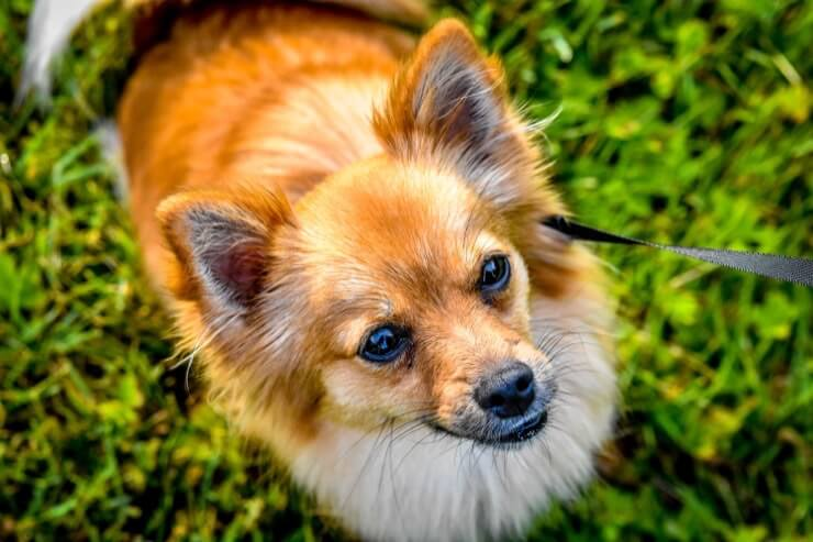 Pomeranian And Chihuahua Mix