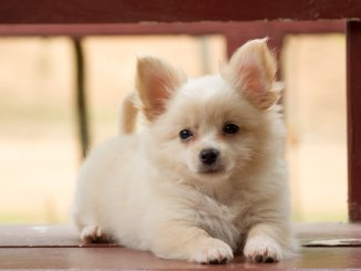 Pomeranian Chihuahua Mix Care Guide A Feisty And Furry Friend Cover