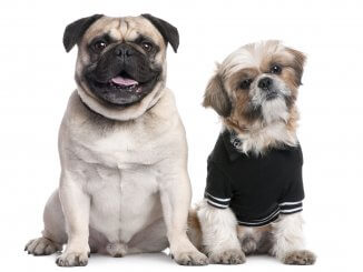 Pug Shih Tzu Mix Care Guide The Perfect Couch Potato? Cover