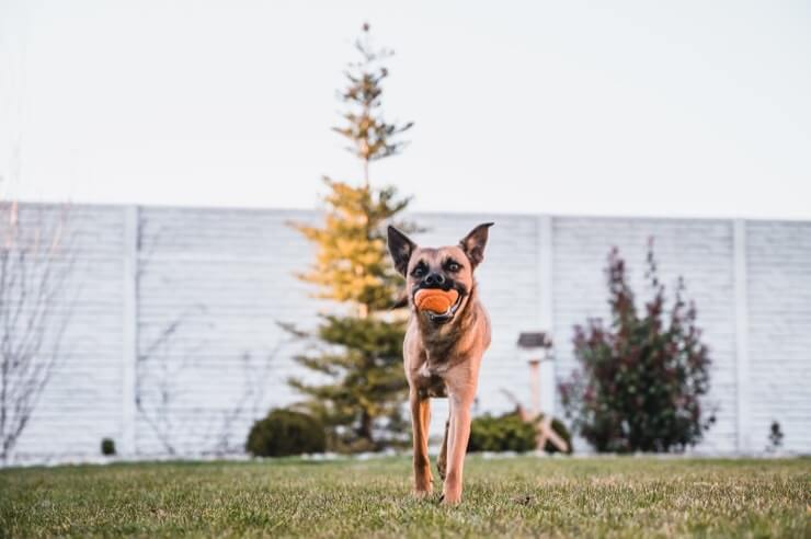 A Boxer And German Shepherd Cross