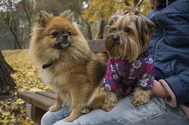 A Pomeranian And Yorkie