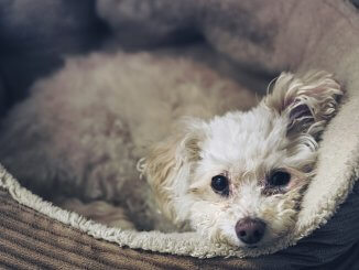 Chihuahua Poodle Mix Breed Profile Size, Temperament and More… Cover