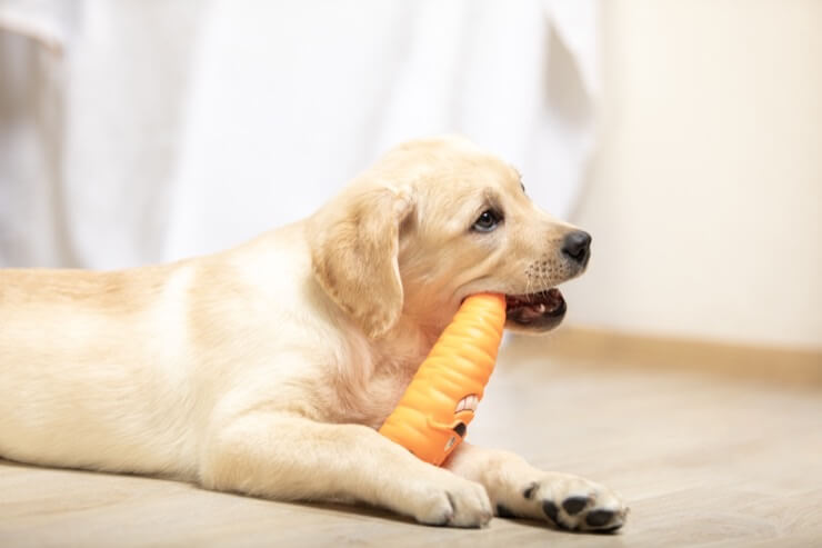 Comfort Retriever Chewing
