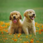 Miniature Golden Retrievers