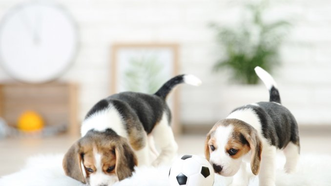 Pocket Beagle 7 Bite Sized Facts You Need To Know Cover