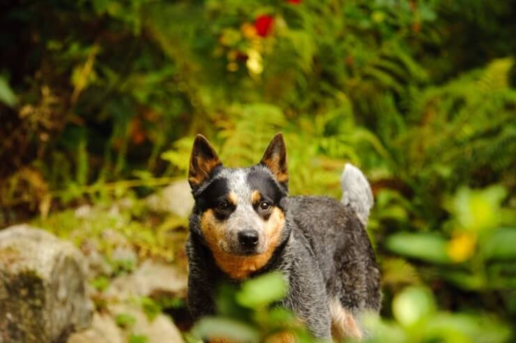 A Australian Cattle Dog