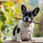 A Frenchie Dog Playing