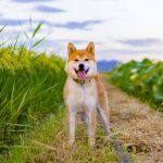 A Shiba Inu Outside Walking