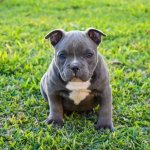 American Bully Puppy Walking