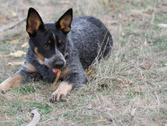 Australian Cattle Dog Is This The Ultimate Farm Dog? Cover