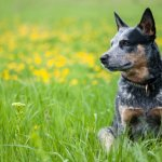 Australian Cattle Dog Working