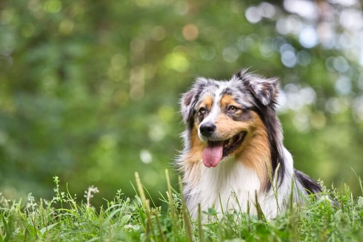 Australian Shepherd In Field Working