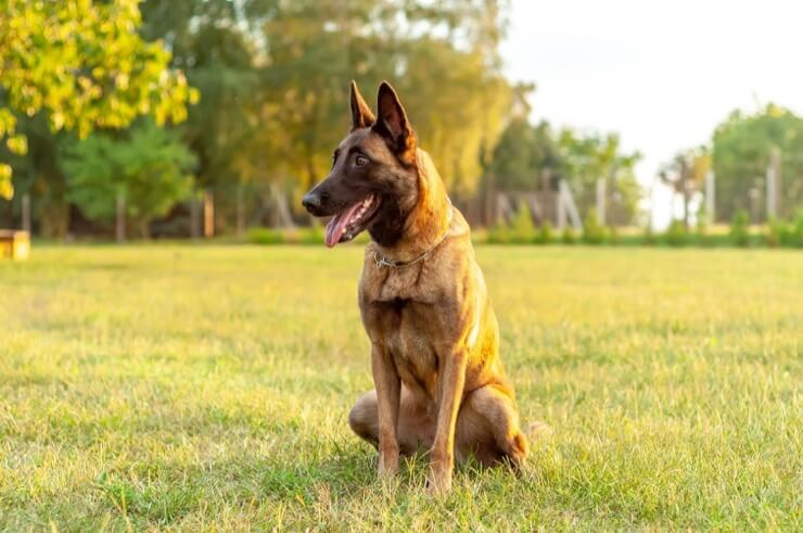 Belgian Malinois Working