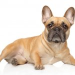 Blonde French Bulldog
