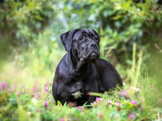 Cane Corso Fearless Protectors With Golden Hearts Cover