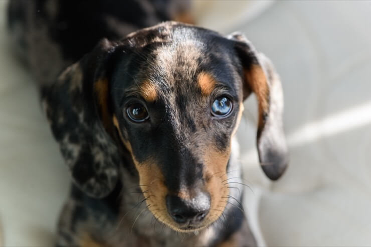 Dapple Doxie