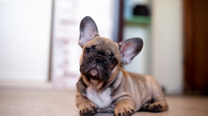 French Bulldog Cost Guide Budgeting For A Bulldog Cover