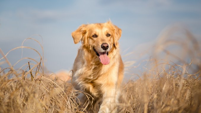 Golden Retriever Dog Breed Information and Owner's Guide Cover