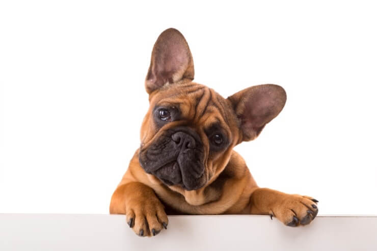 How Much Does A French Bulldog Cost