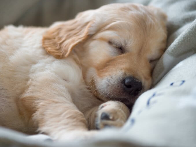 How Much Does A Golden Retriever Cost? Complete Buyer's Guide Cover