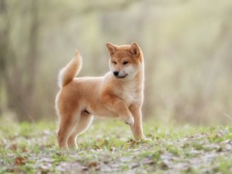 How Much Does A Shiba Inu Cost? Complete Buyer's Guide Cover