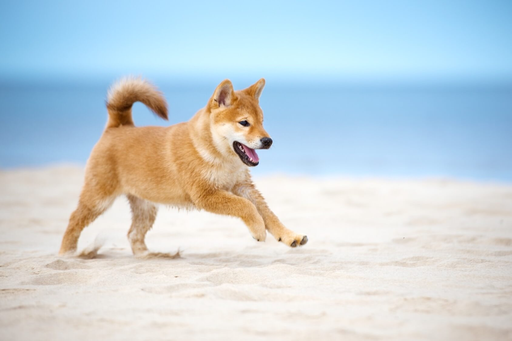 Shiba Inu The Small And Mighty Fox Like Dog Perfect Dog Breeds