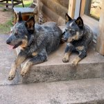 Two Australian Cattle Dogs