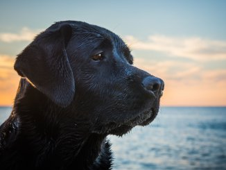 Black Lab The Best Labrador Retriever? Cover
