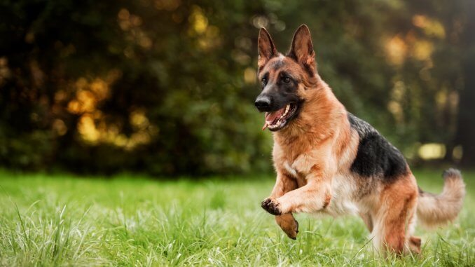 How Much Does A German Shepherd Cost? Ultimate Buyer's Guide Cover