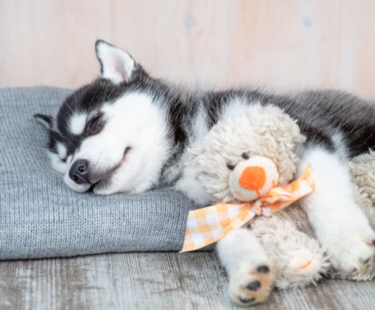 How Much Do Siberian Huskies Cost? The Ultimate Buyer's Guide - Perfect Dog  Breeds